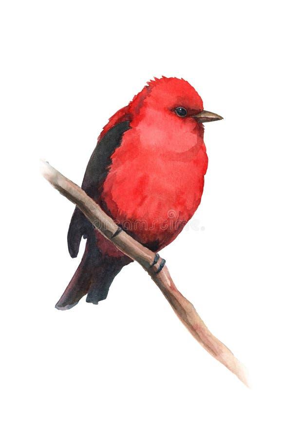 水彩鸟皮兰加坐分支 向量例证