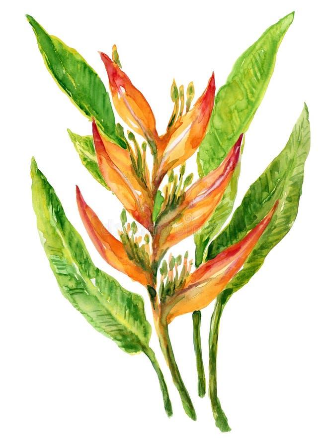 水彩heliconia在白色背景隔绝的花束异乎寻常的叶子和花 向量例证