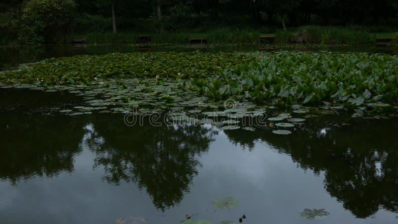 水打开对一个风雨如磐的早晨的Lillies 库存照片
