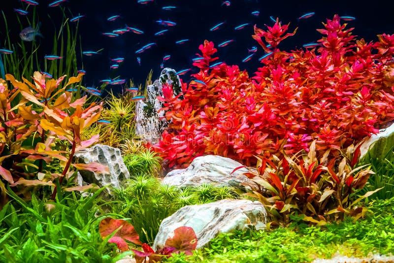 水族馆坦克特写镜头,与霓虹鱼游泳 免版税库存照片