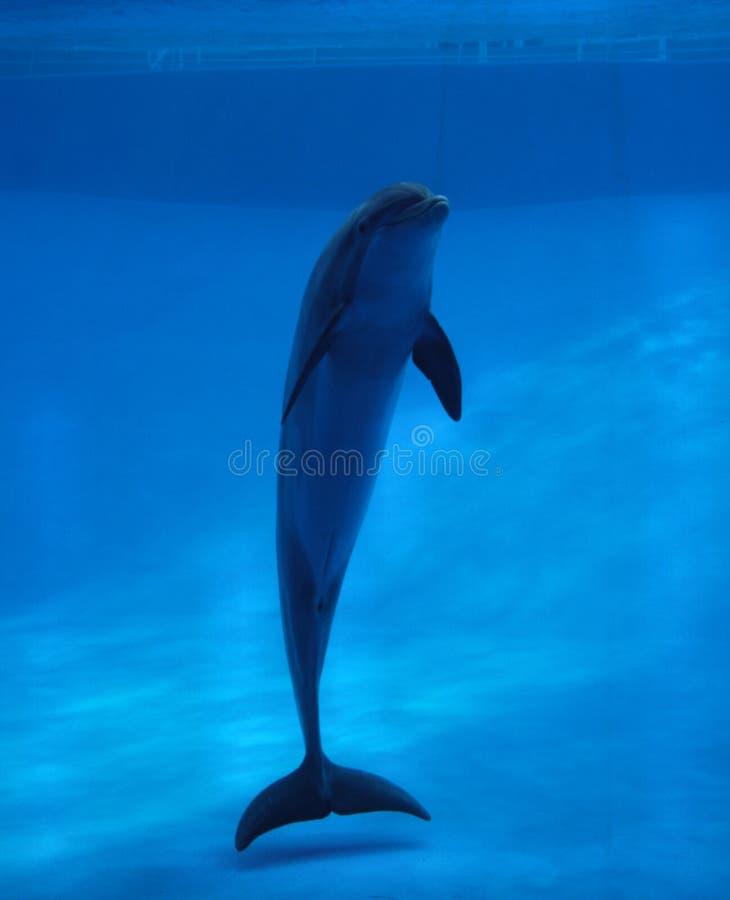 水族馆海豚 免版税库存照片