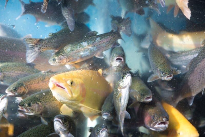 水族馆照片有鳟鱼的在图表和网络设计的义卖市场,网站或流动应用程序的 库存照片