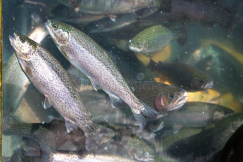 水族馆照片有鳟鱼的在图表和网络设计的义卖市场,网站或流动应用程序的 库存图片
