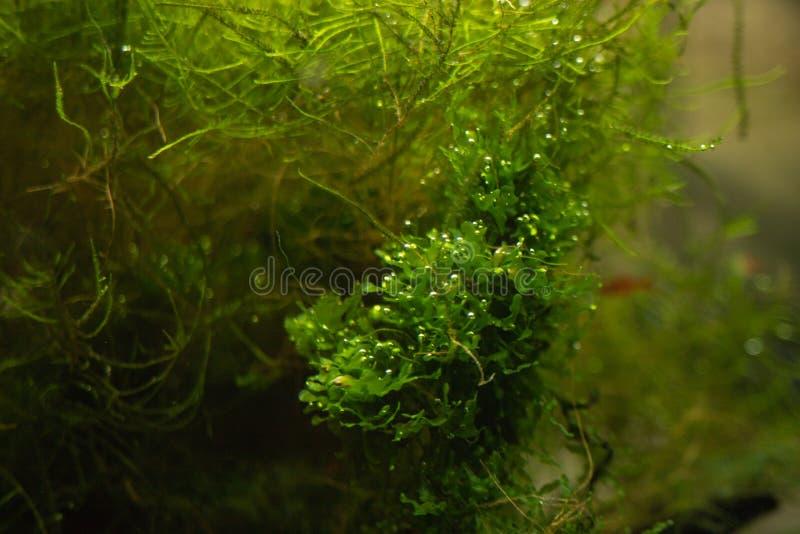 水族馆绿藻类,植物群的元素在水族馆的 免版税库存照片