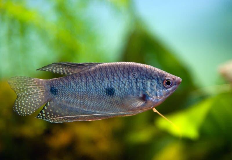 水族馆蓝色鱼gourami 免版税图库摄影