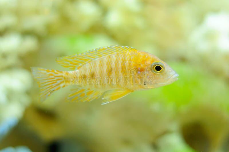 水族馆aulonocara baenschi鱼 库存照片