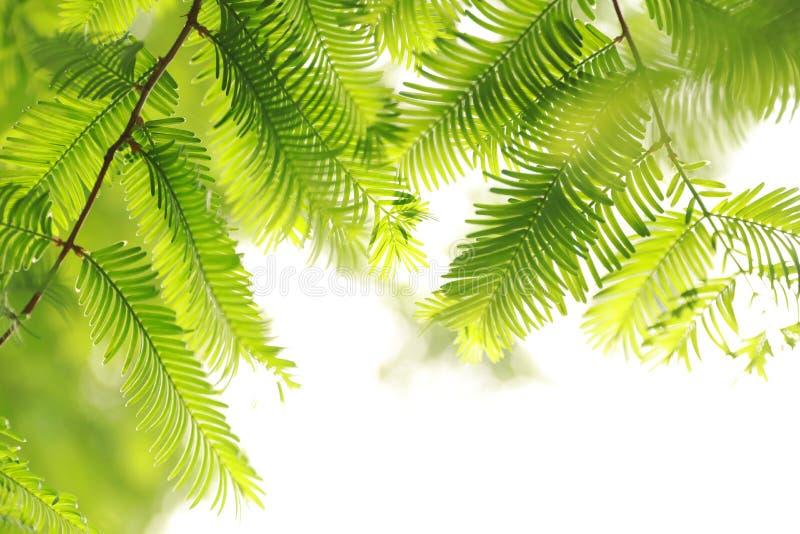 水杉树叶子 免版税库存照片