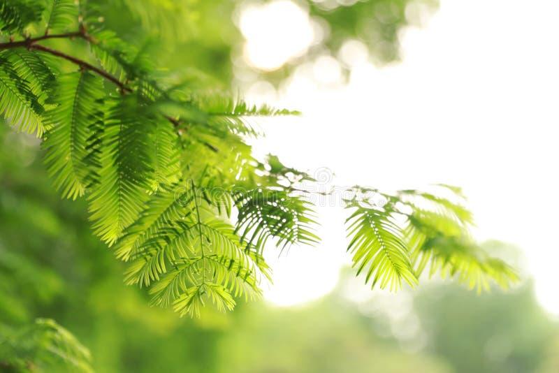 水杉树叶子 库存照片