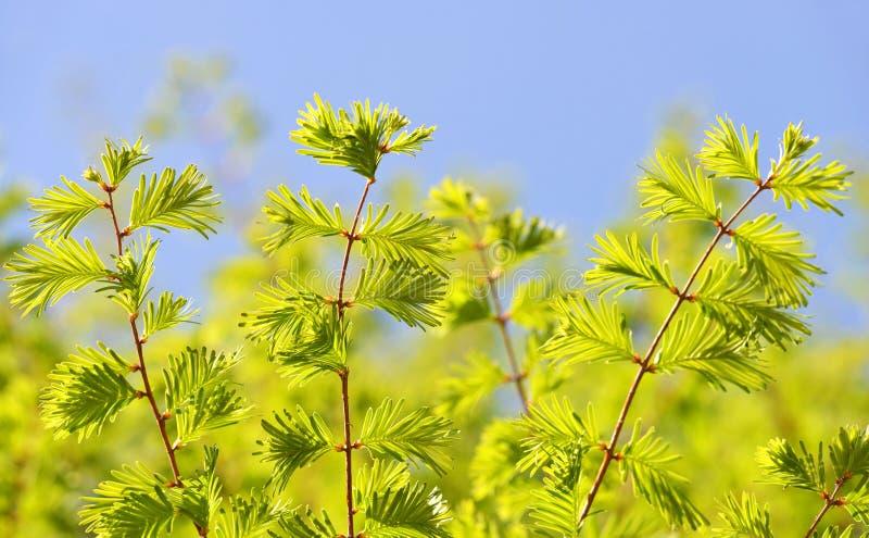 水杉glyptostroboides黎明红木春天分支  免版税库存图片