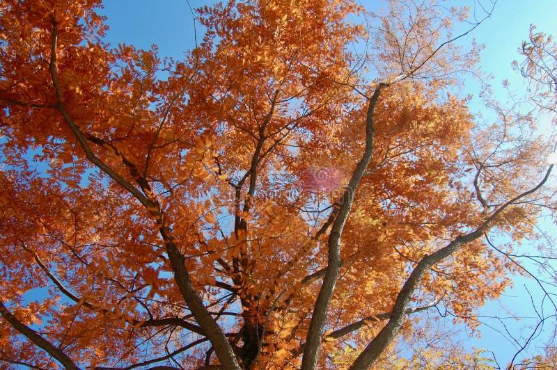 水杉glyptostroboides,与红色秋天c的黎明红木 库存图片