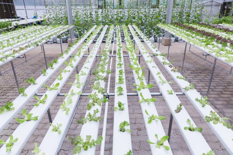 水栽法温室 有机绿色菜沙拉在健康、食物和农业构思设计的水栽法农场 库存照片