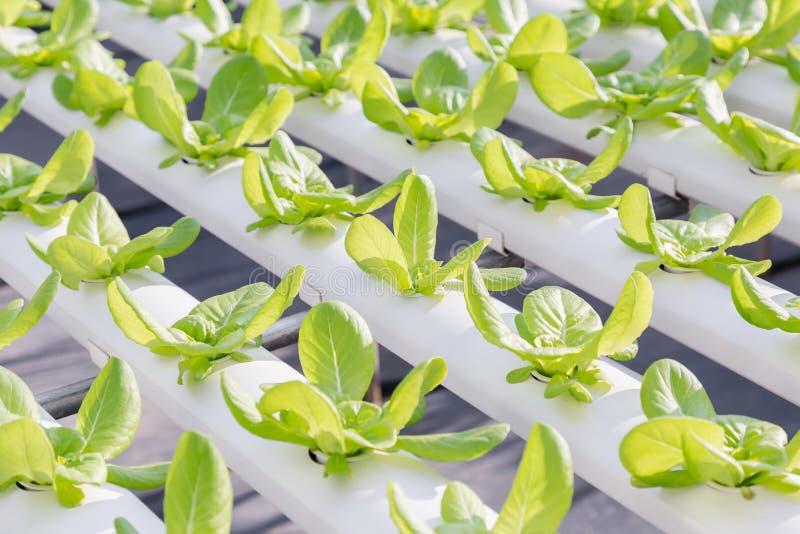 水栽法温室 有机菜沙拉在健康、食物和农业构思设计的水栽法农场 免版税库存图片