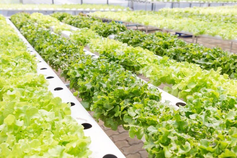 水栽法系统温室和有机菜沙拉在水栽法为健康、食物和农业构思设计种田 库存照片