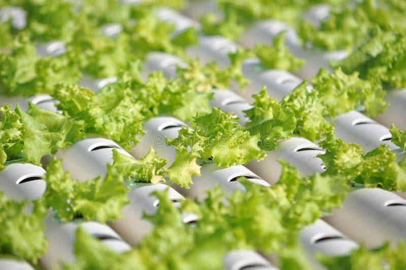 水栽法蔬菜 免版税图库摄影