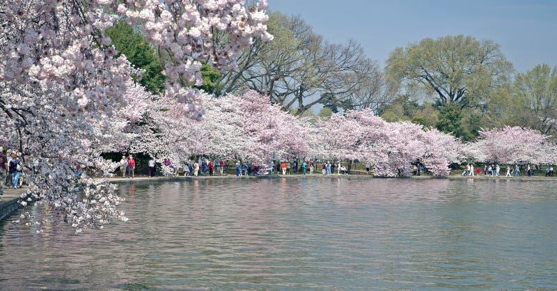 水池绽放dc充分的潮汐华盛顿 免版税库存照片