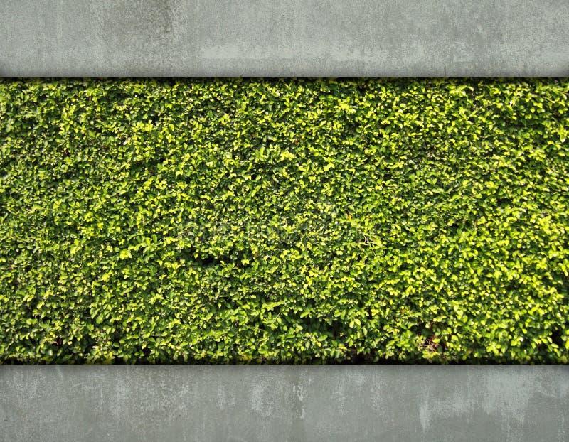 水泥绿色叶子墙壁 免版税图库摄影