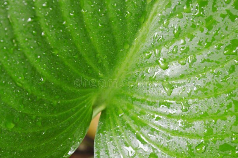水滴在爱树木的人叶子的在庭院 图库摄影