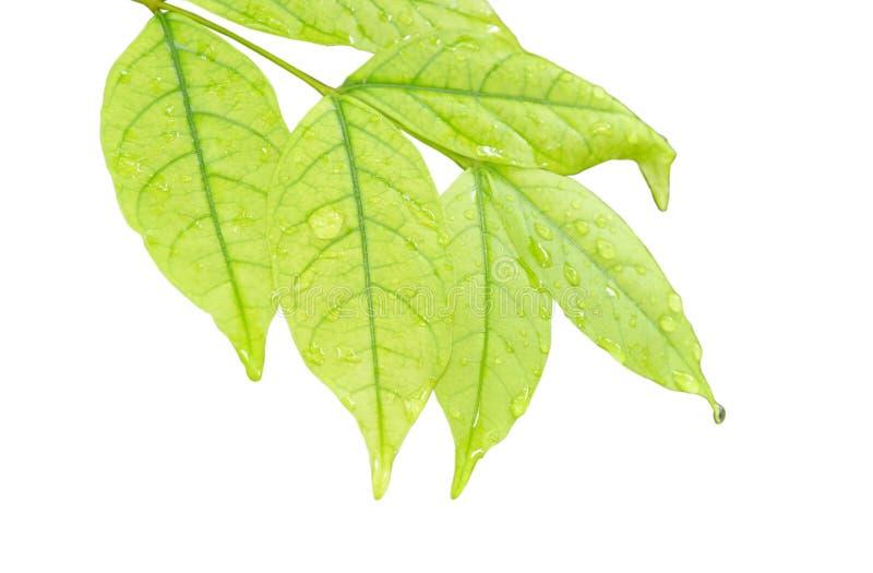 水滴在狂放的水李子叶子的在白色背景 免版税库存照片