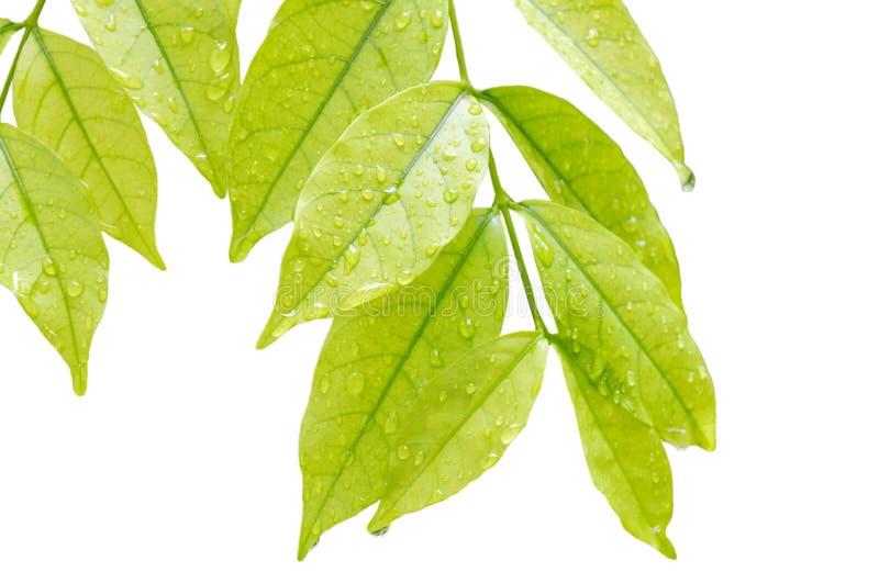水滴在狂放的水李子叶子的在白色背景 库存照片