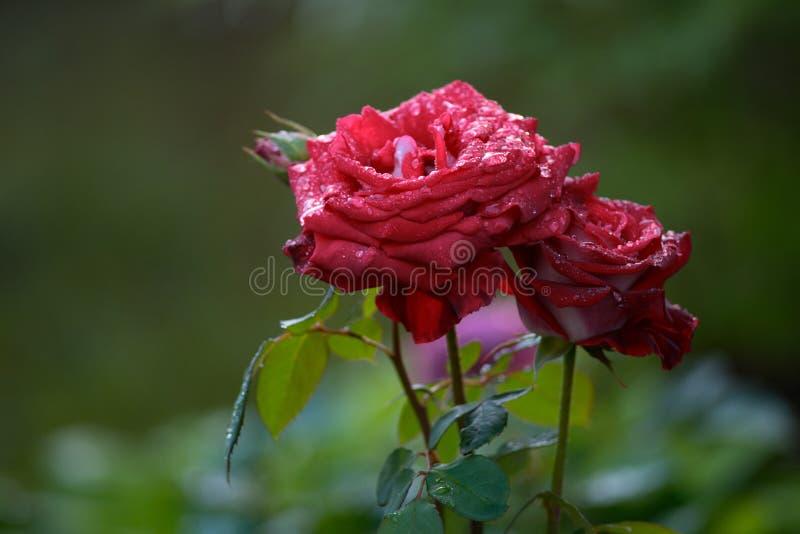水滴在玫瑰的 接近的吃食物女孩射击 免版税库存照片