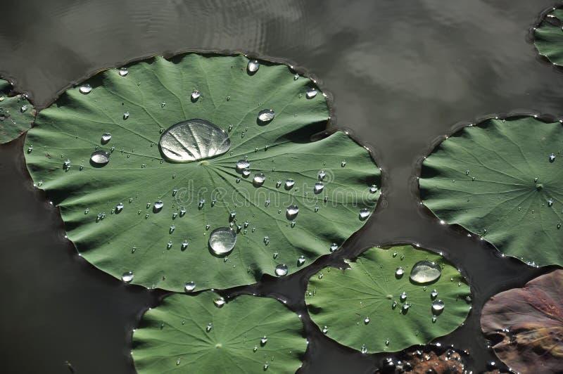 水滴在莲花叶子的 免版税图库摄影