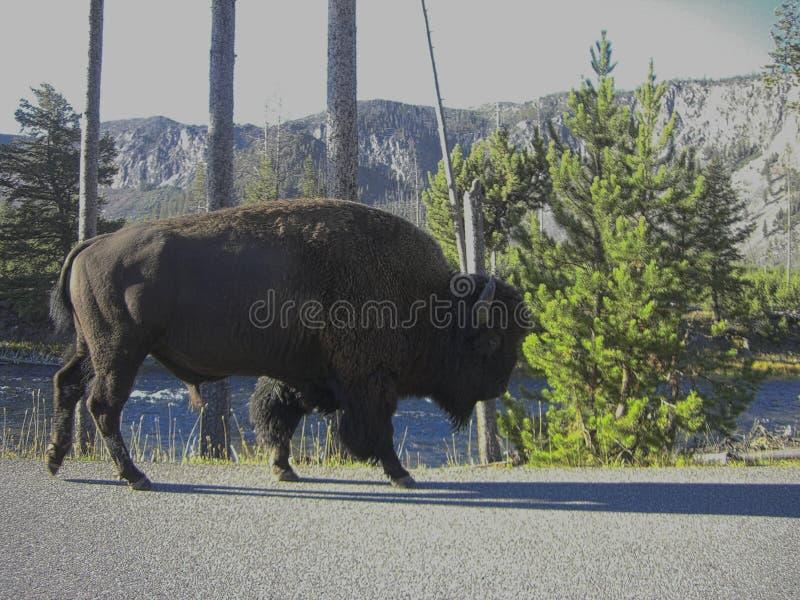 水牛搜寻食物 图库摄影