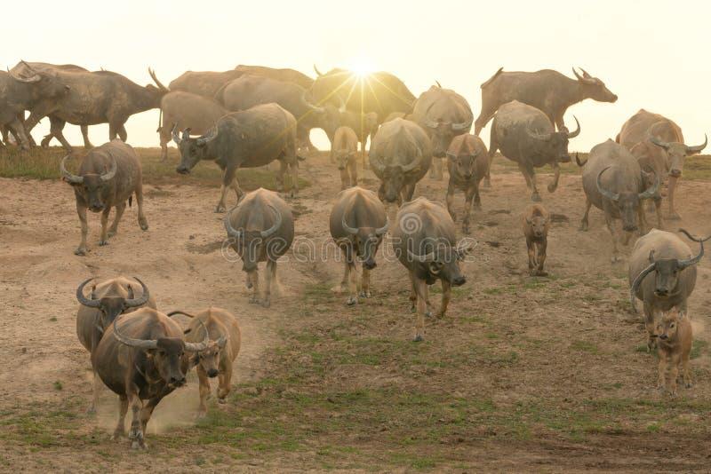 水牛牧群在乡下,泰国,选择聚焦 库存照片