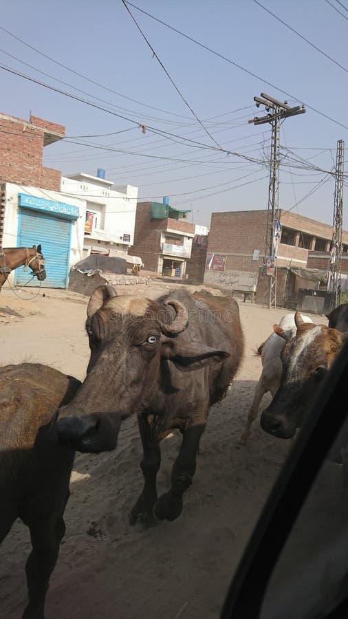 水牛牧群在村庄 免版税库存图片