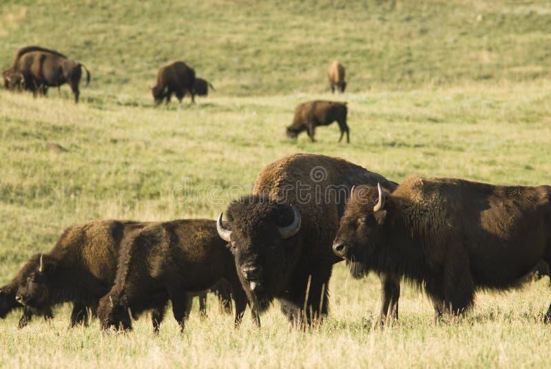 水牛牧群 库存图片