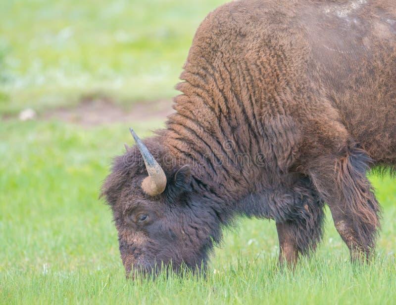 水牛特写镜头在Custer国家公园在南达科他 库存图片