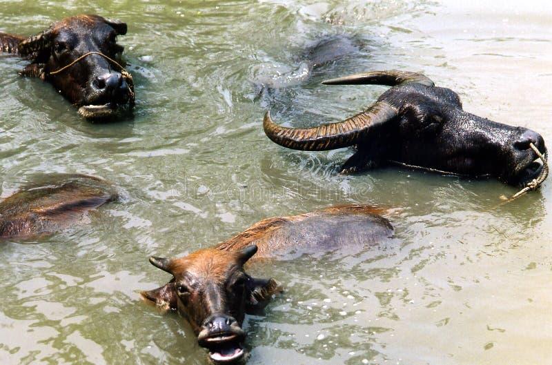 水牛耽溺于的水 免版税库存照片