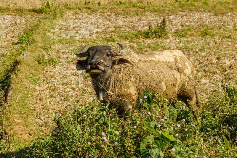 水牛,老挝 免版税库存图片