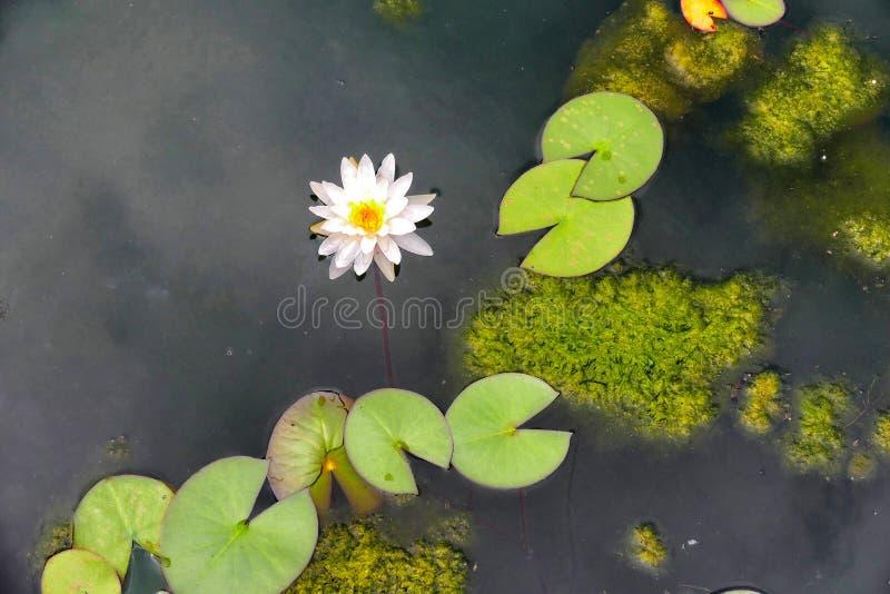 水生植物浪端的白色泡沫百合和浮动叶子 免版税库存图片