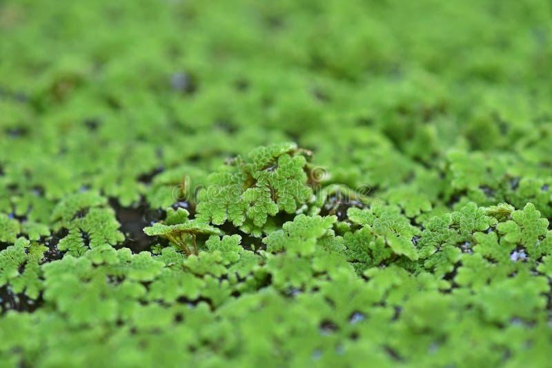 水生蕨类植物的种类,蚊子蕨类 库存图片