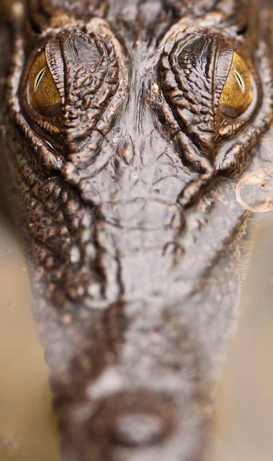 水的接近的鳄鱼盐 库存图片