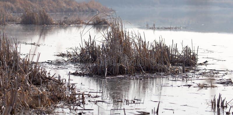 水的表面上的芦苇在日落的 库存图片