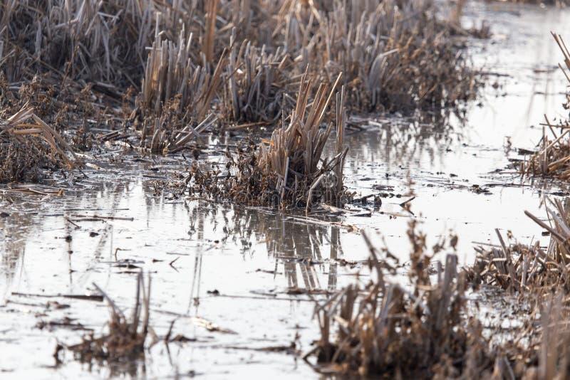水的表面上的芦苇在日落的 库存照片
