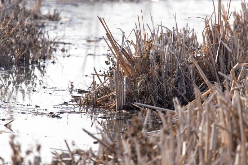 水的表面上的芦苇在日落的 免版税图库摄影