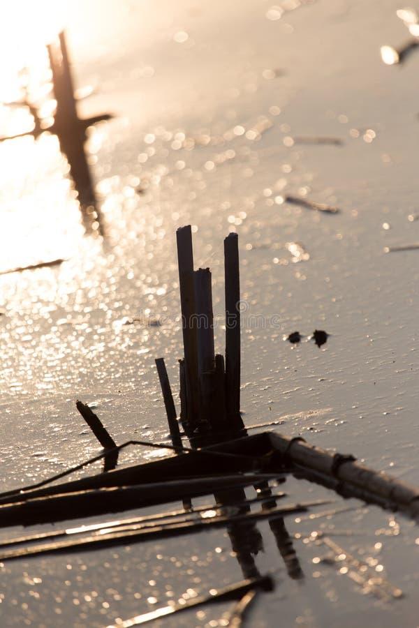 水的表面上的芦苇在日落的 免版税库存照片