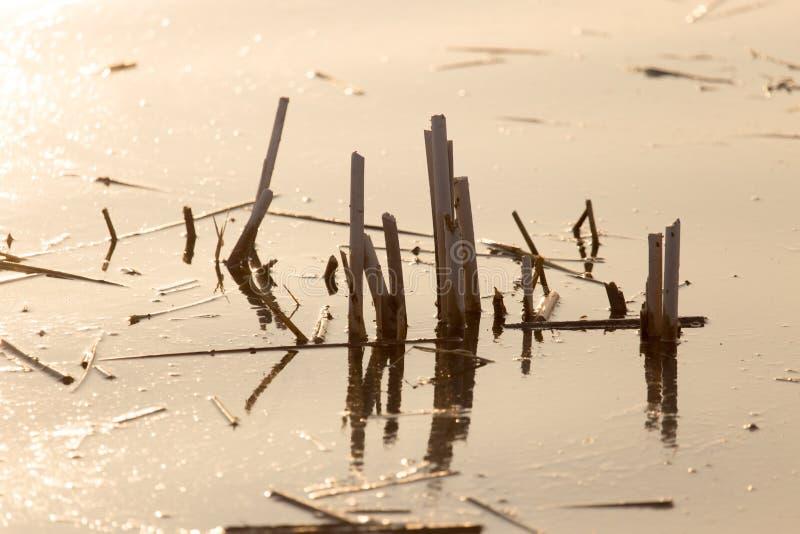 水的表面上的芦苇在日落的 图库摄影