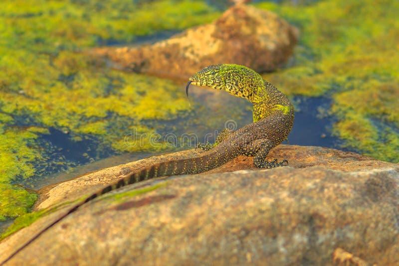 水监控器蜥蜴 免版税库存照片