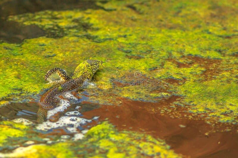 水监控器蜥蜴 免版税库存图片
