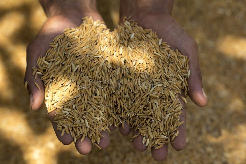 水稻在农夫的手上,在农夫手上关闭米种子在稻背景 免版税图库摄影