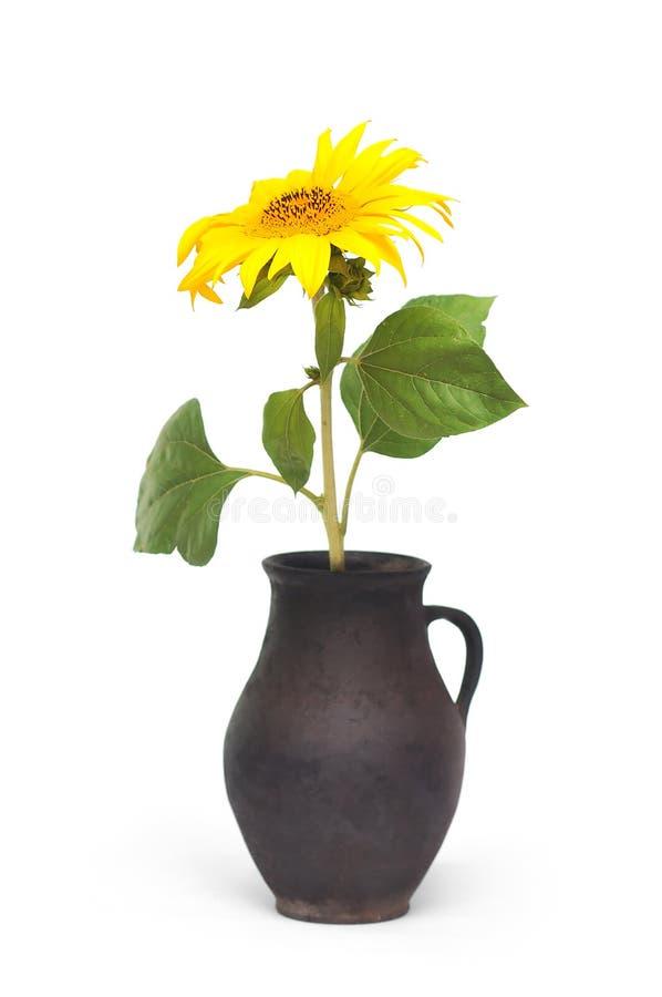 水罐向日葵 免版税库存图片