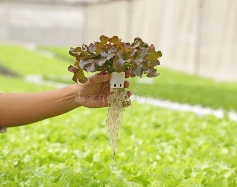 水耕的蔬菜 库存图片