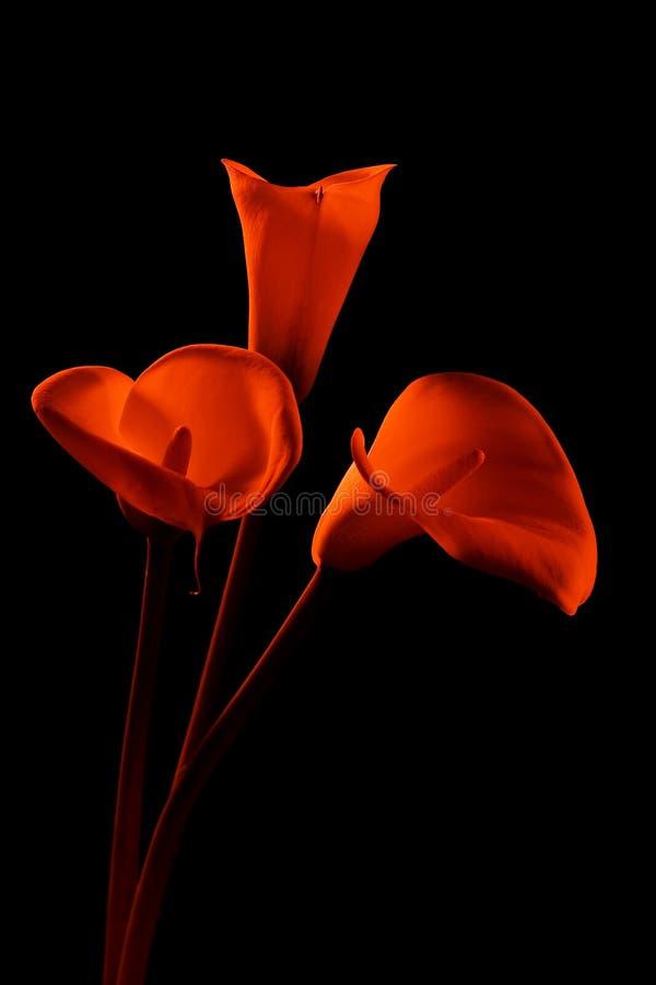 水芋属lillies三 免版税库存图片