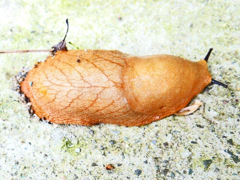 水蛭吸血水蛭蠕虫 库存照片
