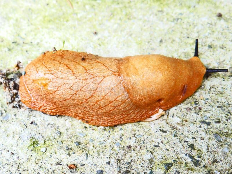 水蛭吸血水蛭蠕虫 免版税图库摄影