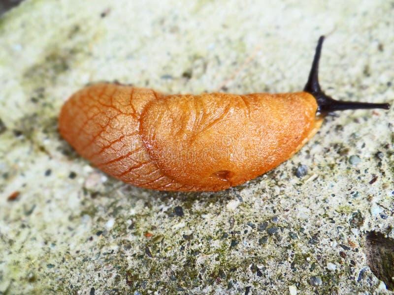 水蛭吸血水蛭蠕虫 库存图片