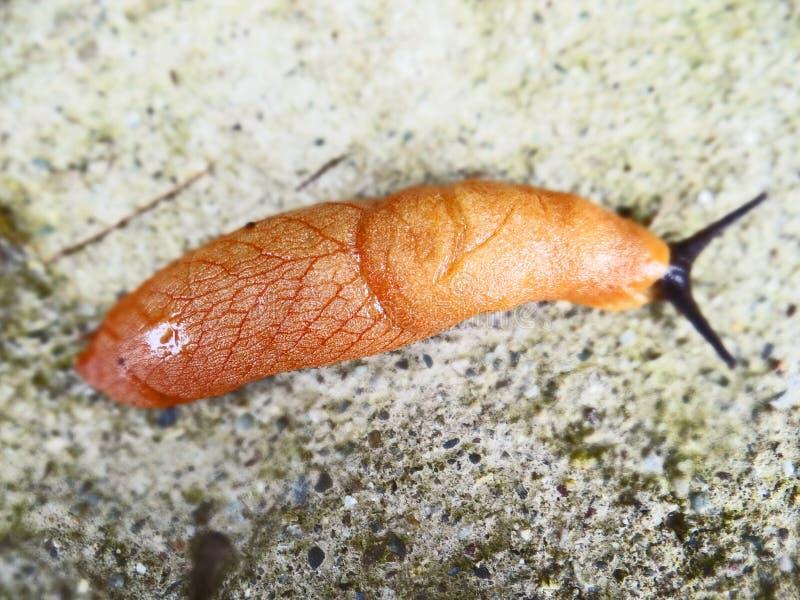 水蛭吸血水蛭蠕虫 免版税库存图片